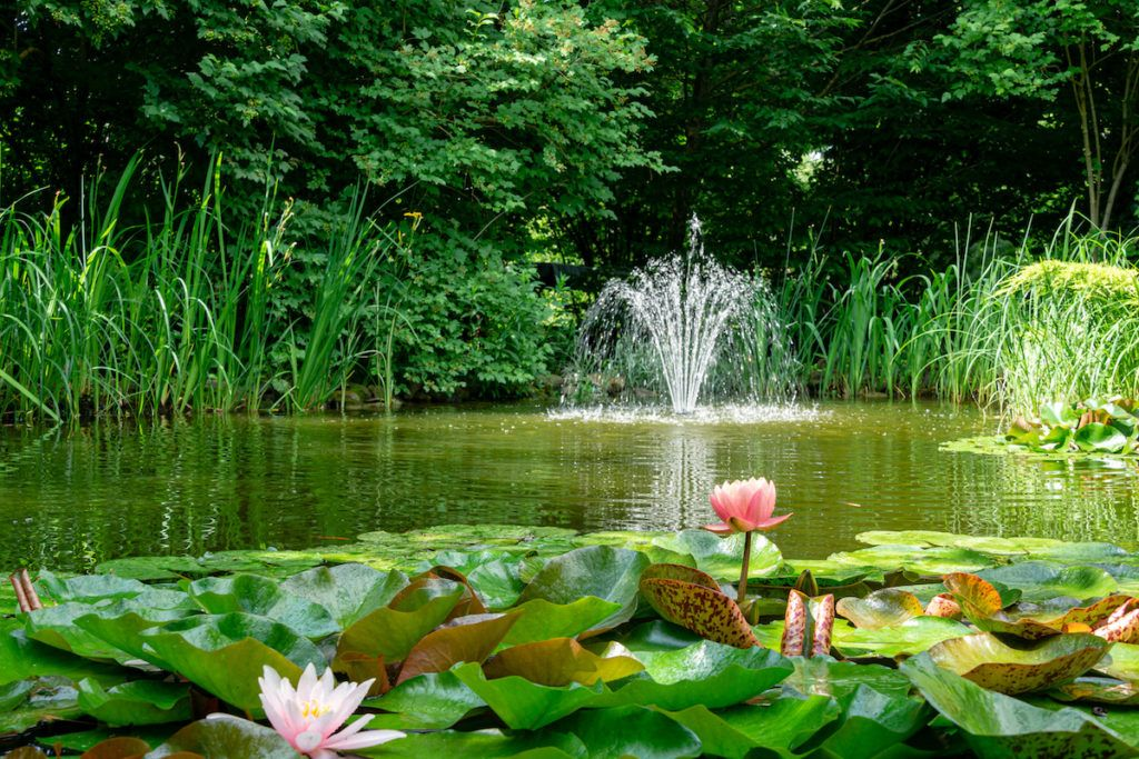 Beautiful garden pond with amazing pink water lilies or lotus flowers with a fountain in the centre